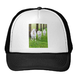 White goats on grass with tree trunks cap