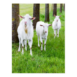 White goats on grass with tree trunks postcard