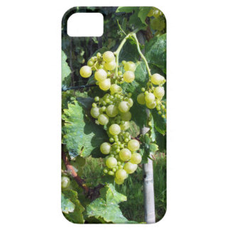 White Grapes on the Vine iPhone 5 Case