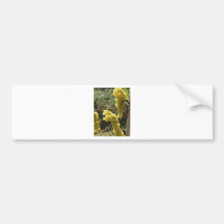 White grapes on the vine . Tuscany, Italy Bumper Sticker