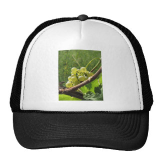 White grapes on the vine . Tuscany, Italy Cap