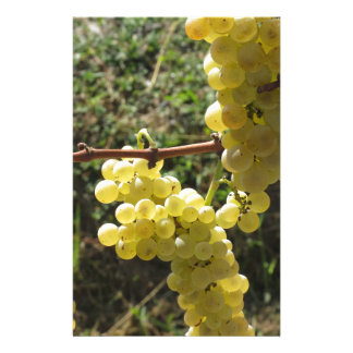 White grapes on the vine . Tuscany, Italy Stationery