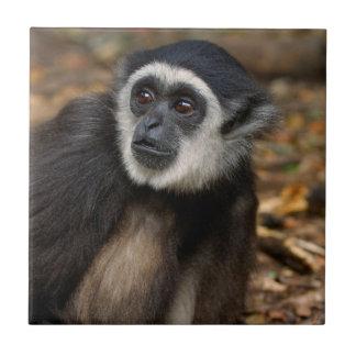 White-Handed Gibbon (Hylobates Lar), Monkeyland Tile