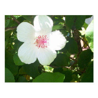White Hibiscus Postcard