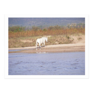 white horse crossing the river postcard