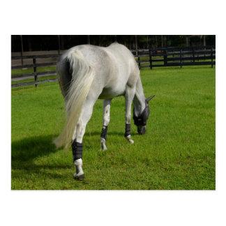 white horse grazing head down in grass postcard