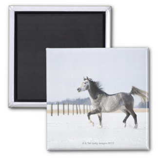 white horse in winter square magnet