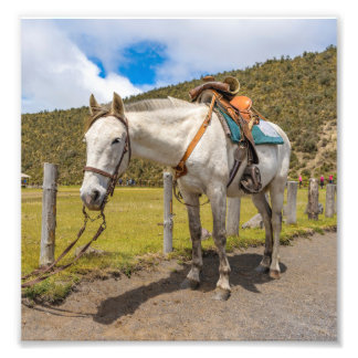 White Horse Tied Up at Cotopaxi National Park Photo Print