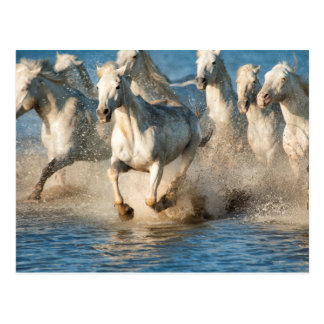 White horses of Camargue, France Postcard
