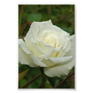 White Hybrid Tea Mrs Herbert Stevens Rose Photo Art