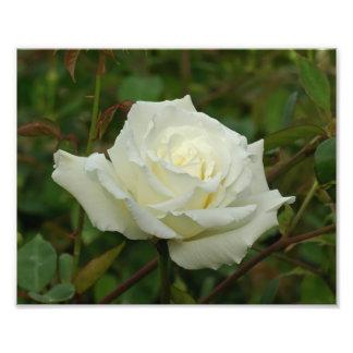 White Hybrid Tea 'Mrs. Herbert Stevens' Rose Photograph