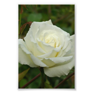 White Hybrid Tea 'Mrs. Herbert Stevens' Rose Photographic Print
