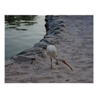 White Ibis On The Sand Poster