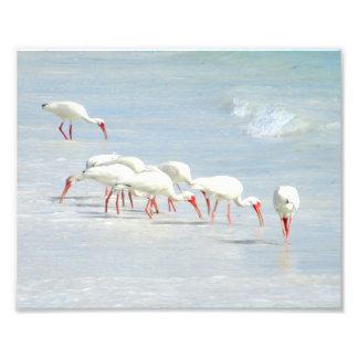 White Ibis Shore Birds on the Beach Photo Art