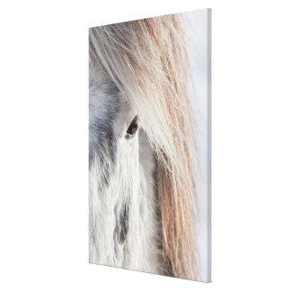 White Icelandic Horse face, Iceland Canvas Print