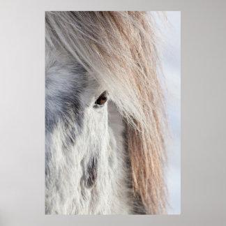 White Icelandic Horse face, Iceland Poster