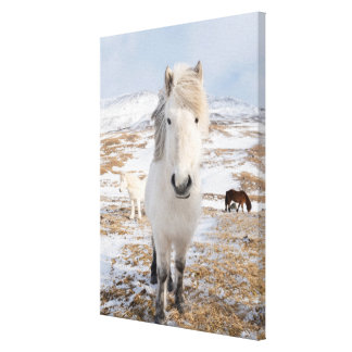 White Icelandic Horse, Iceland Canvas Print