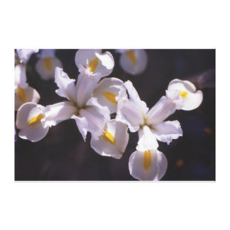 White Japanese Miniature Iris Canvas Print