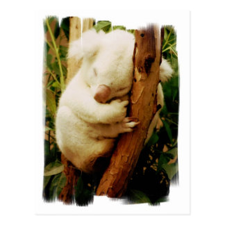 White Koala Bear Postcard