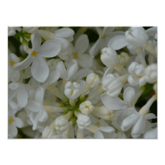 White Lilac Flowers Poster