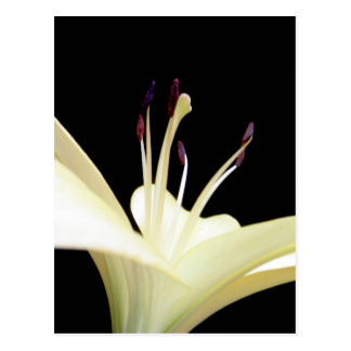 White Lily Flower Lilies Flowers Photo Post Card