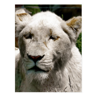 WHITE LIONS POSTCARD