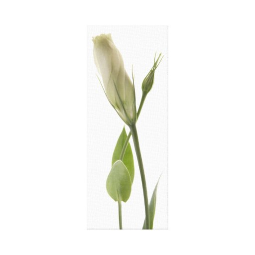 white lisianthus buds crossed stretched canvas prints