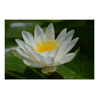 White Lotus Flower Poster