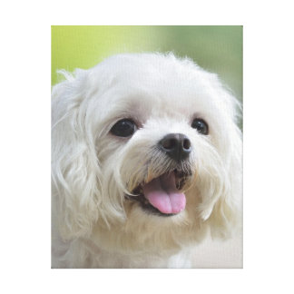 White maltese dog sticking out tongue canvas prints