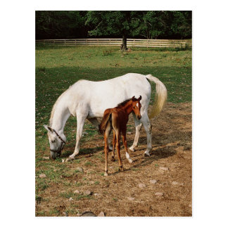 White Mare with Chestnut Foal Postcard