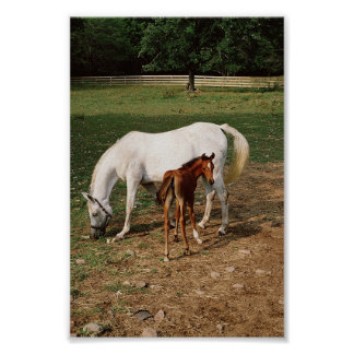 White Mare with Chestnut Foal Poster