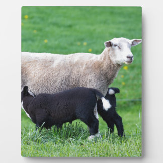 White mother sheep with two drinking black lambs display plaques