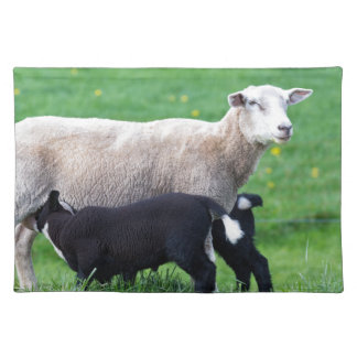 White mother sheep with two drinking black lambs placemats