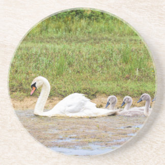 White mother swan swimming in line with cygnets coaster