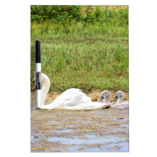 White mother swan swimming in line with cygnets dry erase board