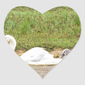 White mother swan swimming in line with cygnets heart sticker