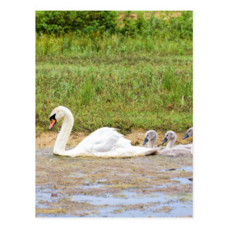 White mother swan swimming in line with cygnets postcard