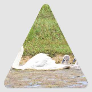 White mother swan swimming in line with cygnets triangle sticker