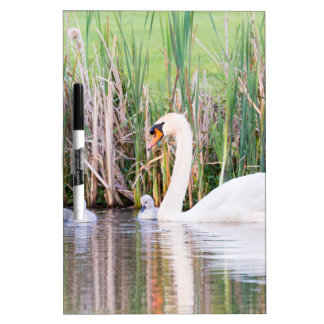 White mother swan swimming with chicks dry erase board