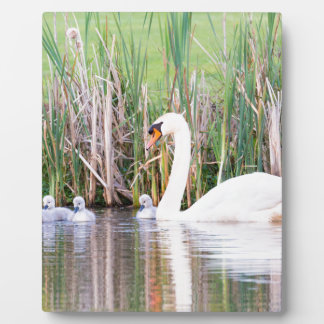 White mother swan swimming with chicks plaque