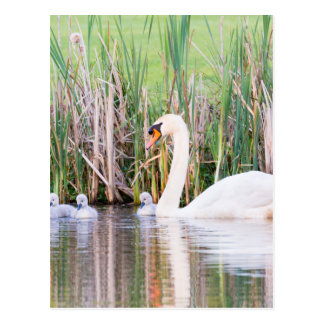 White mother swan swimming with chicks postcard