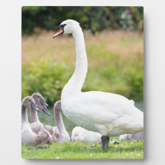 White mother swan with young chicks photo plaque