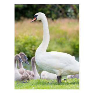 White mother swan with young chicks postcard