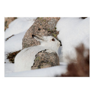 white mountain hare poster