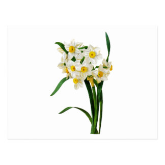 White Narcissus by Pierre-Joseph Redoute Postcard