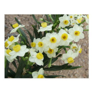 White Narcissus Flowers Postcard
