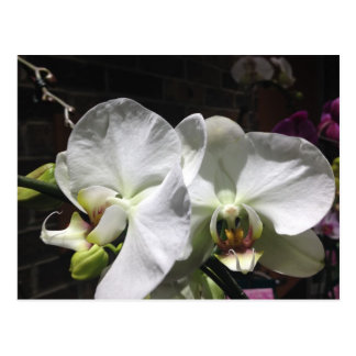 White Orchid Flowers Postcard