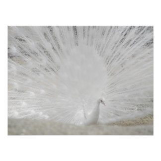 White Peacock, Amazing Photograph Poster