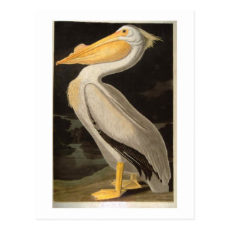 White Pelican, John James Audubon Postcard