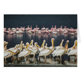 White Pelicans, Pelecanus onocrotalus, Lake Card